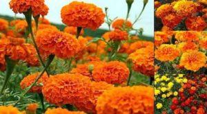 Турта – красиво цвете и лек за миома и други болести.