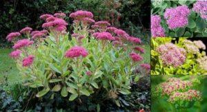 Красивото цвете дебела мара е отличен лек за рани, херпес, хемороиди, язва и други болести и състояния.