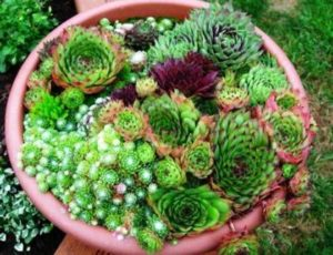Дебелец – Sempervivum