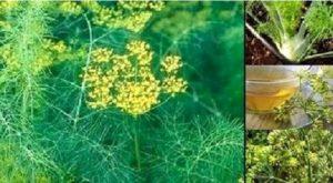 Резене – лечебните свойства на великолепната билка и подправка с аромат на анасон.