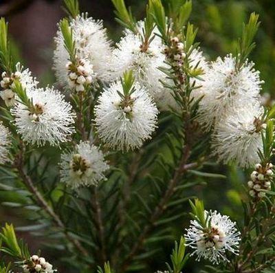 Чаено дърво - Мелалеука (Melaleuca alternifoliа).