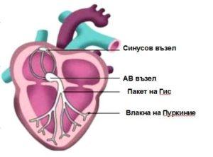 Влакна на Пуркиние, Пакет на Гис, Синусов възел и АВ възел в сърцето.