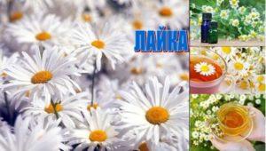 Лайка - една от най-използваните билки и се смята за лечебна отвара, бореща се с редица проблеми.