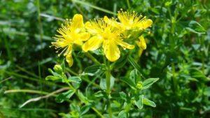 Масло от жълт кантарион за дерматит