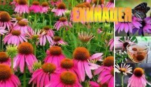Ехинация – чудодейно пурпурно цвете и уникален лек за имунната система, изгаряния, рани, тонизиране