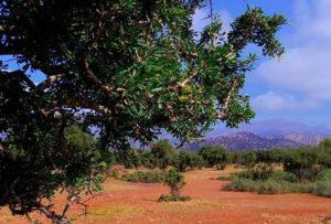Арганово дърво - Argania spinosa.