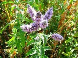 Дивата мента (Mentha arvensis) расте край реките и предпочита влажни почви и по-сенчести места.