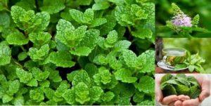 Ароматната и красива билка мента е била използвана много векове заради отличителните си лечебни свойства.