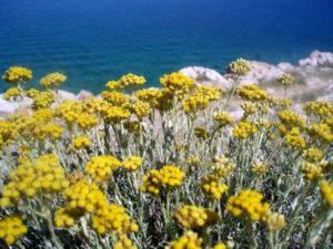 Пясъчно безсмъртниче Helichrysum arenarium L. – жълт смил