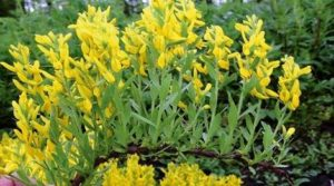 Билката висока жълтуга (Genista tinctoria) е полезна за щитовидната жлеза