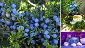 Плодовете на лековитата хвойна са полезни за ревматизъм и други ставни заболявания, белите дробове, при инфекции и още куп болести
