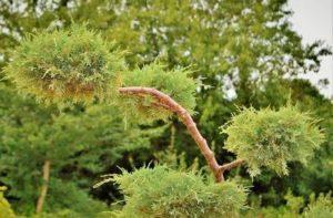 Дърво хвойна