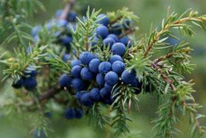 Плодове от хвойна