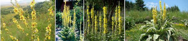 Видове лопен: Обикновен лопен - Verbascum blattaria, Висок лопен - Verbascum thapsiforme, Verbascum macrurum и Лечебен лопен - Verbascum phlomoides.