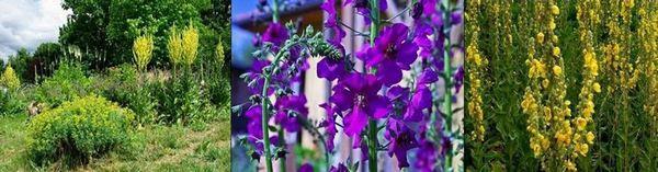Видове лопен: Лопен олимпийски - Verbascum olympicum, Виолетов (пурпурен) лопен - Verbascum purpureum, Гъстоцветен лопен - Verbascum densiflorum.