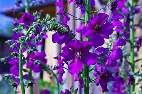 Виолетов (пурпурен) лопен - Verbascum purpureum
