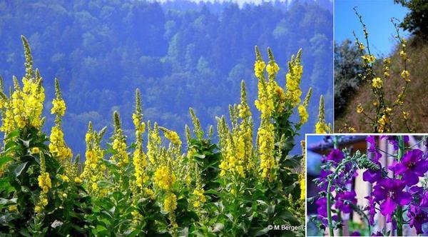 Красивата билка лопен е привлякла към себе си повече от 30 популярни наименования.