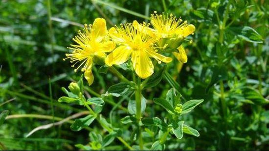 Жълт кантарион – билка за стомаха и за колит