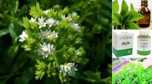 Билката стевия е познато лечебно растение в народната медицина на Южна Америка, което притежава много ползи за здравето и е алтернатива на захарта.