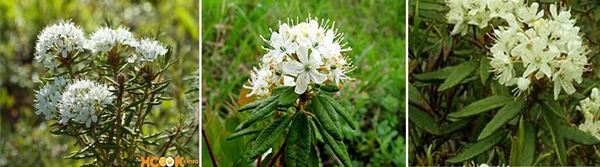 Лек за кашлица с блатен ледум - Rhododendron tomentosum