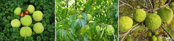 Маклура (адамова ябълка) при симптоми на разширени вени