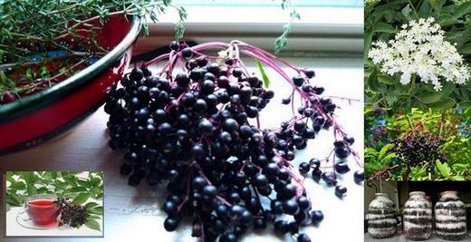 Черен бъз - Sambucus nigra, чудодейна разпространена и в България