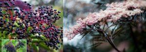 Големият български лечител Петър Димков нарече растението черен бъз най-силната българска билка