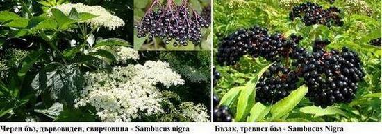 Черен бъз - Sambucus nigra и тревист бъз - Sambucus Ebulus