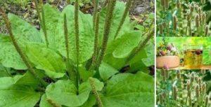 Индийския живовляк - Plantago ovata, семена и хранителна добавка от тях