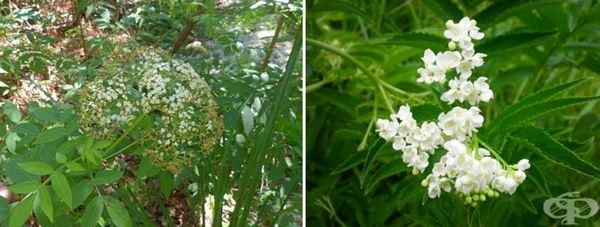 Цветове от австралийския бял бъз - Sambucus gaudichaudiana