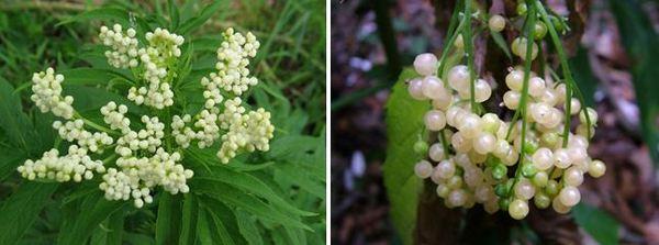Плодове от австралийския бял бъз - Sambucus gaudichaudiana