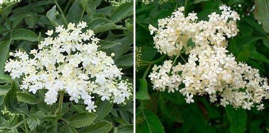 Цветове на бял бъз – свирчовина, тръмбъз - Sambucus nigra