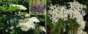Цветовете на билката бял бъз – свирчовина, тръмбъз - Sambucus nigra, са полезни за много заболявания и за тонизиране