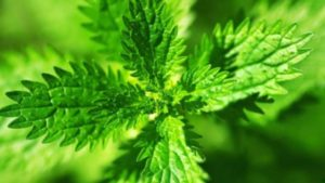Коприва – суперхрана и уникална билка за много болести