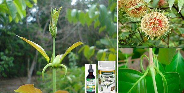 Открийте лечебната мощ на чудотворния котешки нокът! Алкалоиди от тропика в помощ на здравето!: