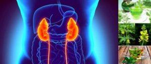 Народните рецепти с билки за бъбреци могат да помогнат при лечението на някои заболявания