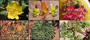 Лековитата тученица е известна като плевел, но се ползва като билка и зеленчук за салати. Тя е полезна за висок холестерол, при диабет и профилактика на рака!